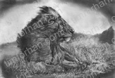 c002_lion_chill_animal_pencil_drawing-2.jpg