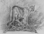 mountain-lion-cat-pencil-drawing-c004