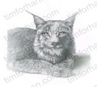 those-lion-eyes-cat-pencil-drawing-c007