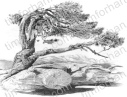 old-pine-yosemite-landscape-pencil-drawing-l002