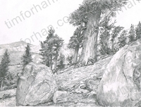 fox-pines-landscape-pencil-drawing-l006
