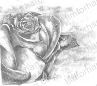 lonesome-rose-miscellaneous-prints-wall-art-pencil-drawing-m005